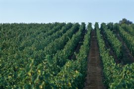 Alsatian vineyards