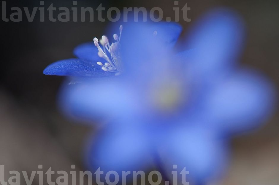 blurry Hepatica