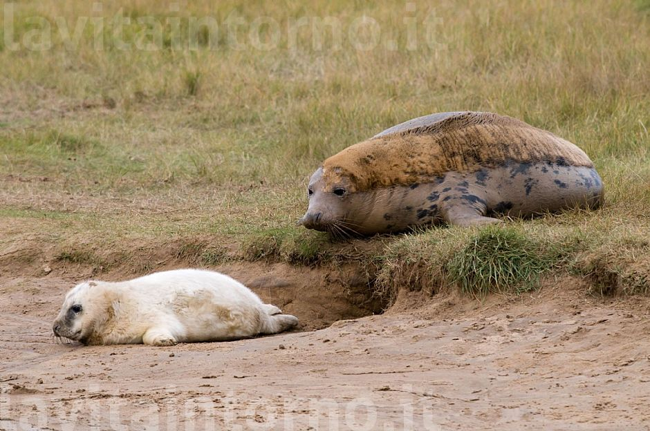 Gray seal: mother and pup